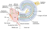 detail-inner-ear-diagram
